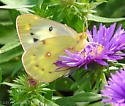 Yellow butterfly...probably an Orange Sulphur but had unusual black markings on wings - Colias eurytheme - female