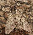 hornworm moth? - Ceratomia undulosa
