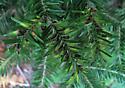 Balsam Gall Midge - late season - Paradiplosis tumifex