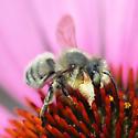 Furry Leaf-cutter Bee - Megachile perihirta