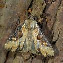 Unknown Moth - Lateroligia ophiogramma