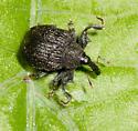 Poplar Weevil from Arden - Odontopus calceatus