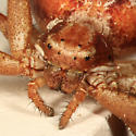 Crab Spider - Xysticus punctatus - female