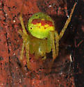 Green spider - Araneus bonsallae