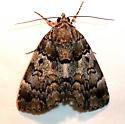 False Underwing - Hodges#8721 - Allotria elonympha