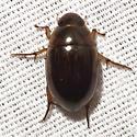 Water Scavenger Beetle - Tropisternus collaris