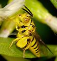 Mello Yello...Wasp - Conura - female