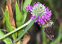 Butterfly or moth - Amblyscirtes celia