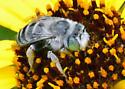 Is this Anthophora squammulosa? - Anthophora curta