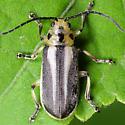 Coleoptera - Trirhabda bacharidis