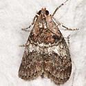 Pococera asperatella - Maple Webworm Moth - Pococera asperatella