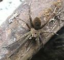 Spider 5 - Dolomedes vittatus