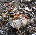 Crane Fly - Phoroctenia vittata