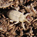 Weevil in bison dung - Tychius