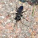 Cricket hunter - Liris argentatus - female