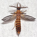 Glowworm Beetle - Phengodes fusciceps - male