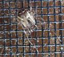Cobweb Spider? Worcester MA - Mimetus