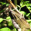 fishfly - Nigronia serricornis