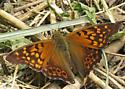 unidentified butterfly 9640 - Asterocampa clyton
