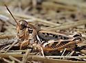 Devastating Grasshopper - Melanoplus devastator - female