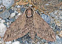 MothSphinxGray09012018_GS_