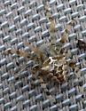 Orbweaver Spider - Araneus gemmoides