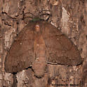 Gloveria gargamelle 7695 - Gloveria gargamelle - female