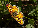 Need someone handy with id'ing fritillaries and other similar butterflies from the top - Phyciodes mylitta