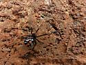 Black Widow - Latrodectus mactans