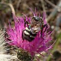 American Bumble Bee?  B. pensylvanicus?? - Bombus