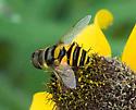Flower fly - Eristalis transversa - female