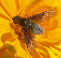 Bee Fly - Paravilla syrtis