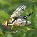 Fruit fly - Urophora stylata - female