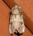 Morning-glory Prominent - Schizura ipomaeae - male