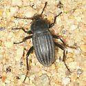 beetle - Eleodes tricostata