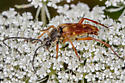 on a bed of flowers - Typocerus