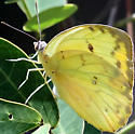 Orange-barred Sulphur - Phoebis philea - Phoebis philea - female