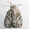 unknown moth #8 - Acronicta retardata