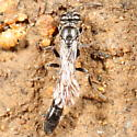 Trypoxylon? collecting nest material - Trypoxylon - female