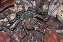 Tailless Whipscorpion? - Phrynus marginemaculatus
