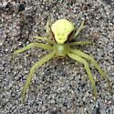 Unknown spider - Misumena vatia