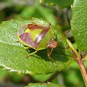 Red and Green Stinkbug - Banasa dimidiata