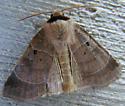 Moth - Agnorisma badinodis