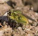 dung fly? - Scathophaga stercoraria