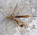 Ichneumon Wasp ??? - Megarhyssa macrurus - female