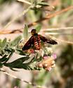 Bee Fly - Poecilanthrax effrenus