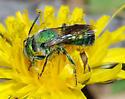 Mason Bee - Osmia - male