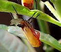 Oncopeltus sexmaculatus - moult series - Oncopeltus sexmaculatus