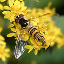 Syrphid - Allograpta obliqua - female
