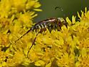 Beetle 4283-4290-4291 - Typocerus octonotatus